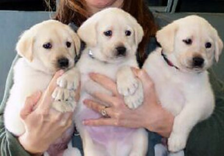 Cute male and female Labrador Puppies ready for sale.