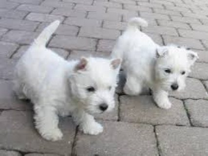 Intelligent male and female west highland terrier puppies for sa