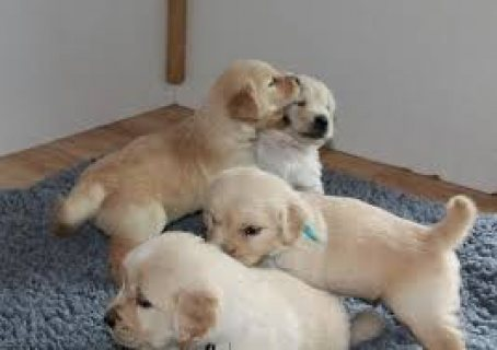 صور Top Classic Golden Retriever Puppies Available for sale 1