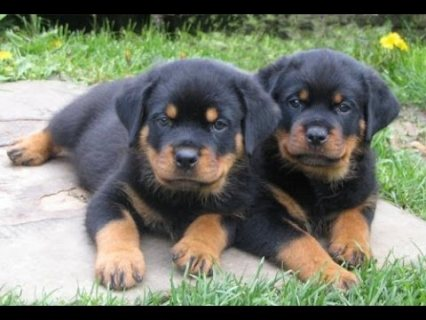 صور Adorable Rottweilers Puppies for sale 1