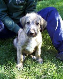 Lovely Irish Wolfhound Puppies For Sale
