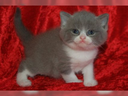 صور                         British Short hair kittens Avialable 1