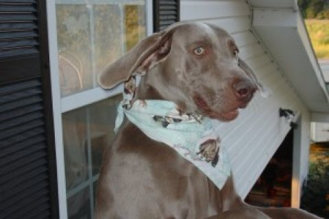 Beautiful Weimaraner Puppy for Sale