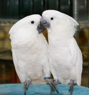 Umbrella Cockatoo For Sale( Babies also Available)