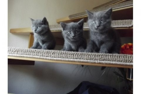 British short hair kittens for sale.