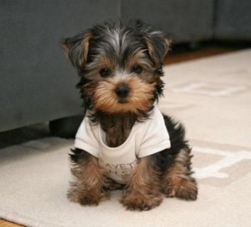 cute and adorable yorkie puppy for homing