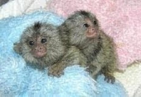 Twins Pygmy Marmosets Monkeys for adoption