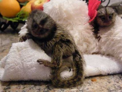 Marmoset monkeys good for sale