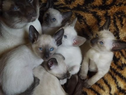 Good looking Siamese Kittens For sale