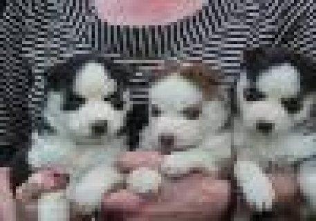 Good looking Siberian Husky Puppies
