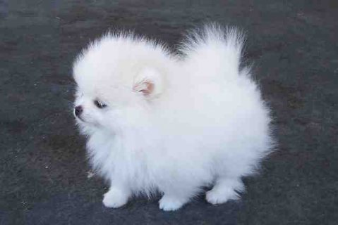 Pomeranian puppies ready for adoption