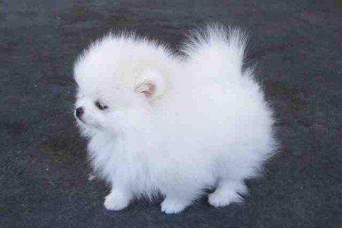 Pomeranian puppies ready for adoption