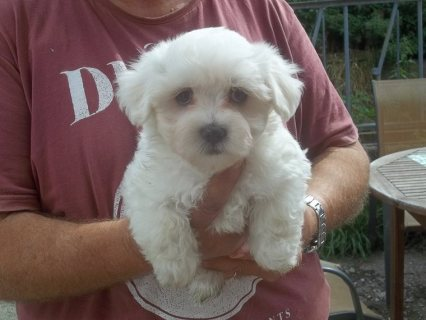 Top of the line exceptional Maltese puppies