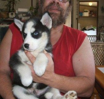 1 Male & 1 Females in the litter Siberian husky puppies