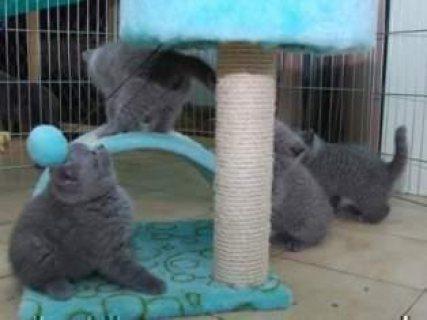 Beautiful Cream Pointed British Short hair Kittens