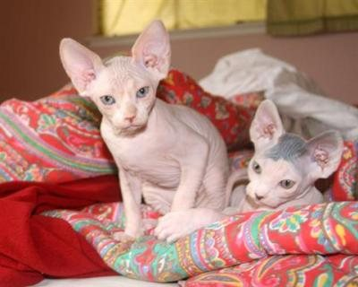 Cutest male and female Registered Sphynx Kittens Available