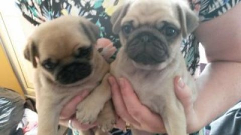 Fantastic pug puppies for sale 2 boys 1 girl