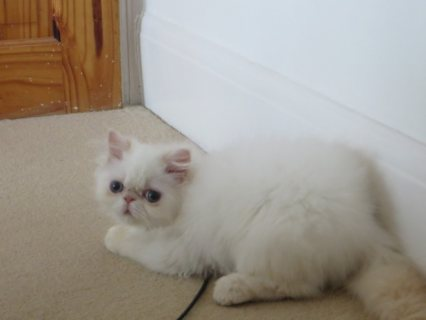 Himalayan Kittens Available