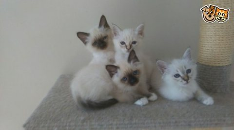 Three Birman Kittens Available