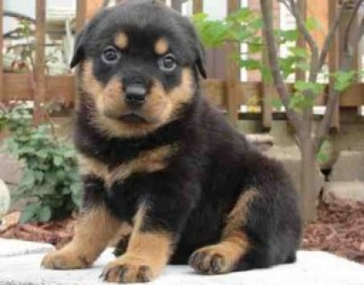 صور                    Well trained Rottweiler puppies for new homes 1