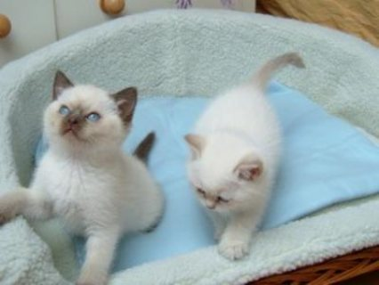 Good looking Male And Female Ragdoll Kittens