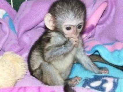 Cute Capuchin Monkeys for Adoption