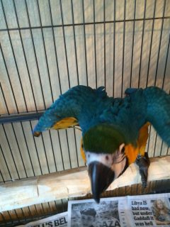 Young male/female hyacinth macaw parrots