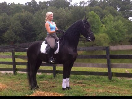 Mare Friesian Horse For Adoption