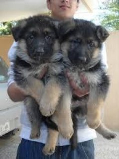 Good looking Male and female German Shepherd puppies for sale