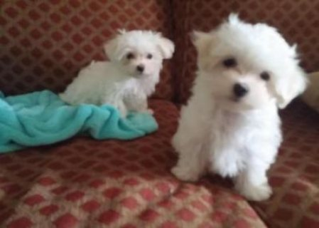 !!!!CUTE MALE AND FEMALE MALTESE PUPIES FOR FREE SALE!!!