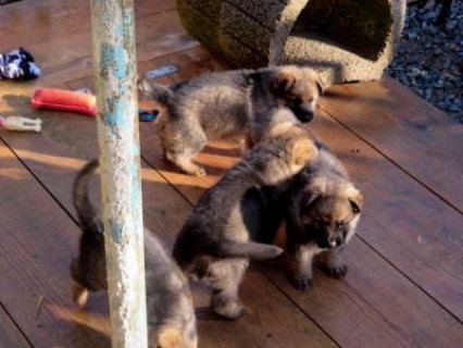 صور Quality Male and Female German Shepherd Puppies Ready for New Ho 1