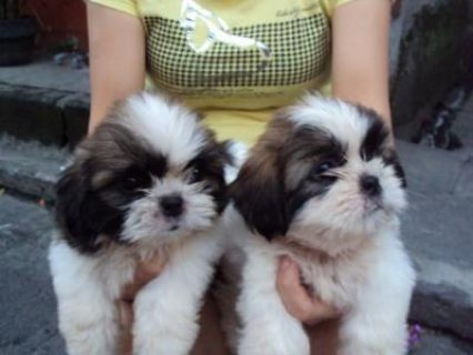 Good looking Tiny Teacup shih tzu Puppies Now Available