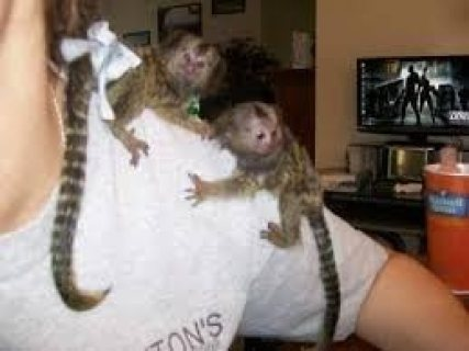 Marmoset Monkeys Male and Female for Sale