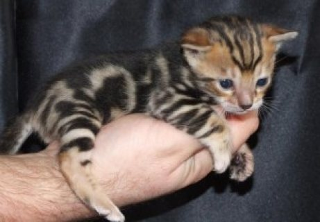 Adorable Bengal Kittens Available for sale/./../