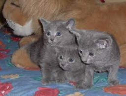 Male and female Russian Blue kittens ready for sale ... .They ar