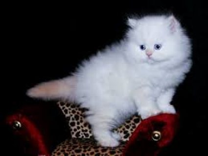 We have white Persian kittens available for a good home........