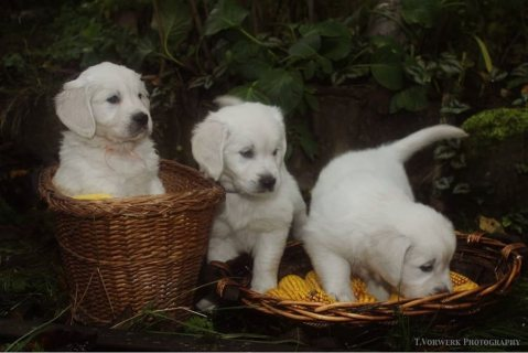 New Golden Retriever Puppies with Blue Eyes For Rehoming