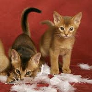STUNNING MALE AND FEMALE ABYSSINIAN KITTENS FOR ADOPTION,,...,