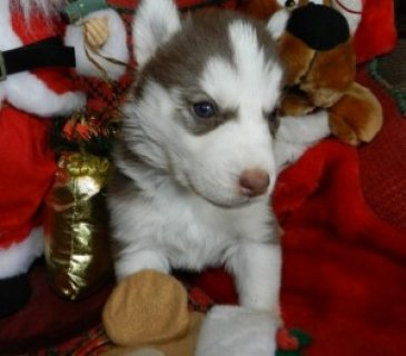 صور Lovely And Playful Two Blue Eyes Siberian Husky Pupies For New H 1