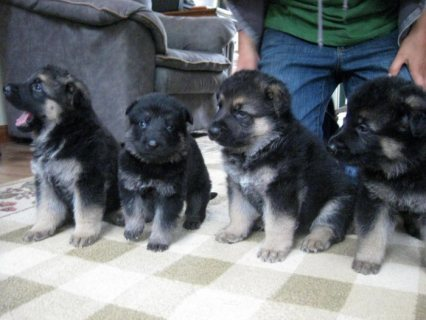 Male and female German Shepherd Puppies for Sale/......