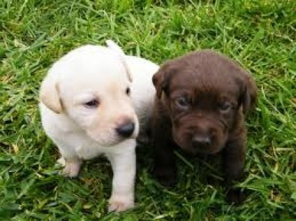 Cute Labrador retriever Puppies Available for sale
