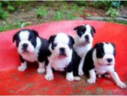 Beautiful Weimaraner Puppies for sale