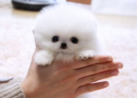 Pomeranian puppies are the perfect present for your loved ones