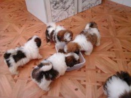 Top Quality Shih Tzu Puppies Soon to Go to Their New Forever Hom