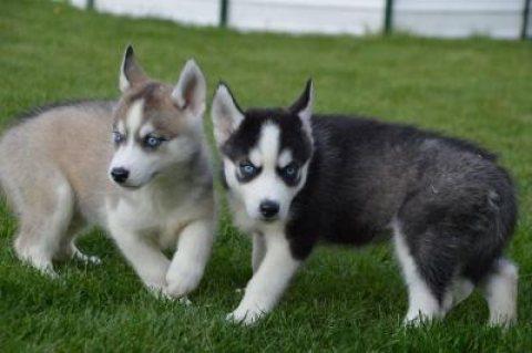 For adoption 2 beautiful Siberian husky puppies.