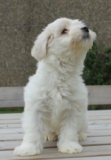 Beautiful T-Cup Maltese puppies for adoption