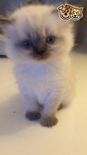 Stunning Tica Reg Bengal Kittens