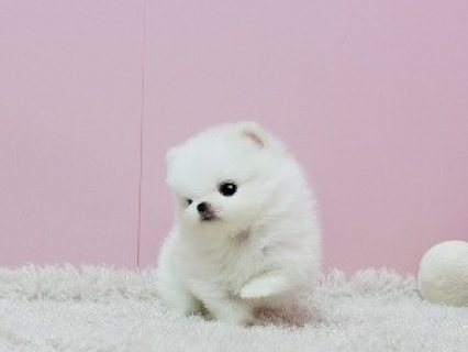 صور Jovial Teacup Pomeranian Pups Available for sale 2