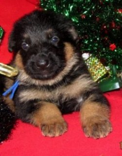 Cute and Adorable German shepherd puppies For Adoption