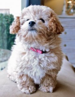 we have adorable poodle puppies for sale
